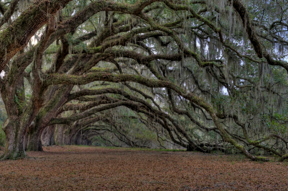 These live oak trees were likely planted over three hundred years ago. The house is long gone from most of the South Carolina plantations, but the alley of live oaks remains on dozens of properties.